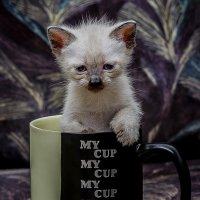 souvenir-MY CUP-из серии кошки очарование моё! :: Shmual Hava Retro
