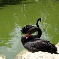 Чёрные лебеди :: Николай
