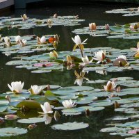 Красота цветущих кувшинок :: Наталья Джикидзе (Берёзина)