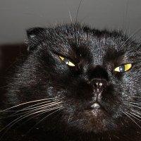 Кошка Шеба :: busik69