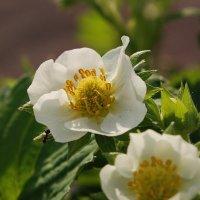 клубничкины цветы :: Lena