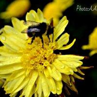 Bee :: Анастасия Фокс