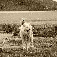 Ездовые собаки Гренландии :: Tatiana Belyatskaya