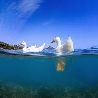 Ducks in the sea :: Дмитрий Лаудин
