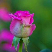 Роза :: Алексей Тимофеев