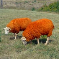 Рыжие овцы. :: Чария Зоя