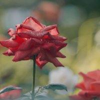 Роза :: Ulentill Елена