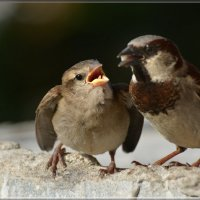 дай! :: linnud