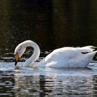 Лебедь :: Геннадий С.