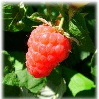 ягода малина :: Татьяна ***