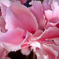 Розовый вихрь цикламена :: Нина Корешкова