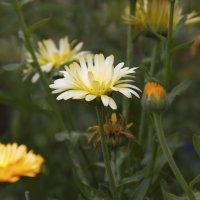Желтые цветы :: Мария Комарова