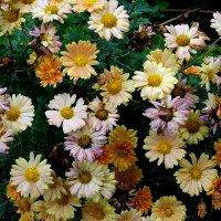 Осенние цветы  Фото№15 :: Владимир Бровко