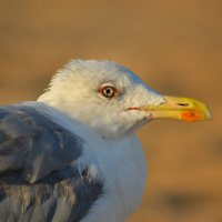 Чайка из Анапы :: Екатерина Данилова