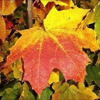 Красочные листья осени :: Лидия (naum.lidiya)