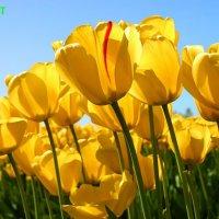 Тюльпаны :: Leyla King