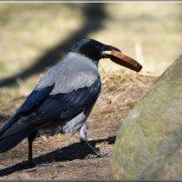 ворона с удачей :: linnud