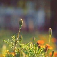 Цветы :: Dasha Darsi