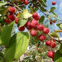 Яблочки китайские :: kudrni Кудрявцева