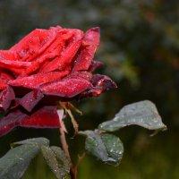 роза :: Torrika Gybareva
