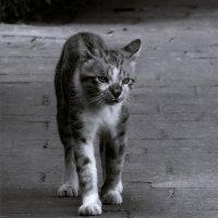 Странник-из серии Кошки очарование мое! :: Shmual Hava Retro