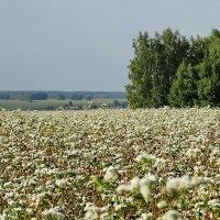Виды на урожай 2014. Гречиха #1 :: Виктор Четошников