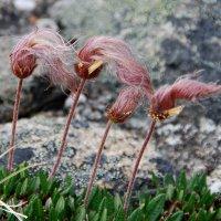 Мир полярных растений Гренландии :: Tatiana Belyatskaya
