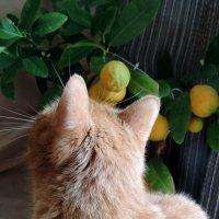 Рыжий и мандаринки :: bemam *