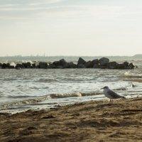 портрет чайки на берегу :: Vitaliy Kononov