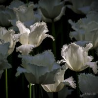 Белые тюльпаны (цветение 2014) :: Евгений Лимонтов