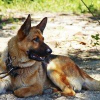 Сторожевой пёс Фриц :: Никита Иванов