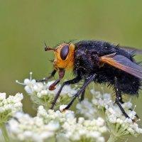 Лохматая  муха :: Геннадий С.