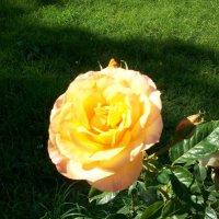 Роза :: Виктор Елисеев