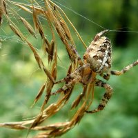 паук крестоносец :: djangalina *