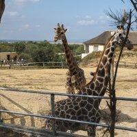 Жирафы :: Ирина Корнеева