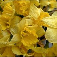 Нарциссы, жёлтые нарциссы, что так весной волнуют вновь… :: Нина Корешкова