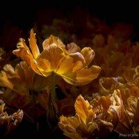 Тюльпаны апельсинового цвета :: Евгений Лимонтов