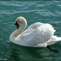 Грустный лебедь :: Ольга Голубева