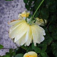 Одинокая роза в мелких капельках влаги... :: Галина Стрельченя