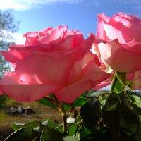 Розы в солнце :: Алла Алина