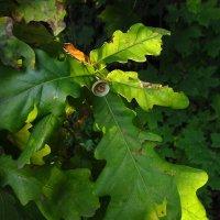 Дубовые листья IMG_8344 :: Андрей Лукьянов