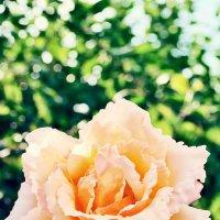Роза из монастырского сада... :: Наталья Костенко
