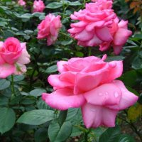 Ароматные  розы :: Valentina Lujbimova [lotos 5]