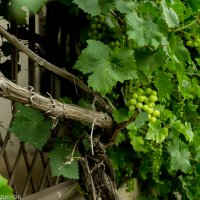 Балкон увитый виноградом :: Геннадий Кудинов