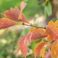 осенние листья :: Лариса Батурова