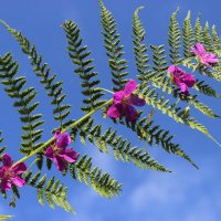 Теперь и вы знаете как цветёт папоротник .. :) :: Mariya laimite