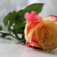 Роза :: ОЛЬГА (olinaviolina)