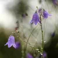 Серебряный перезвон дождя...-2 :: veilins veilins