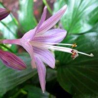 Цветок хосты... :: Тамара (st.tamara)