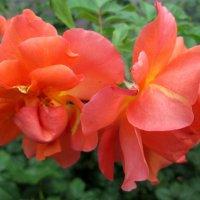 Розы в сентябре... :: Тамара (st.tamara)